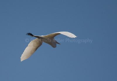 RJLM_WI  _83190  Great White Egret  2009-03