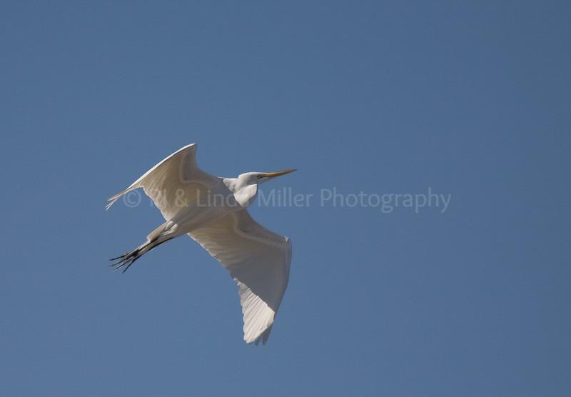 RJLM_WI  _83184  Great White Egret  2009-03