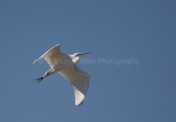 RJLM_WI  _83184  Great White Egret  2009-03
