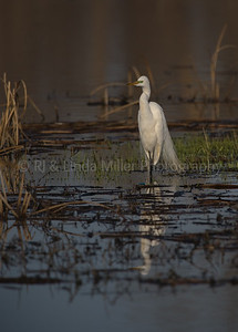 Great White Egret, Wading in Swamp