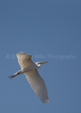 RJLM_WI  _83185  Great White Egret  2009-03