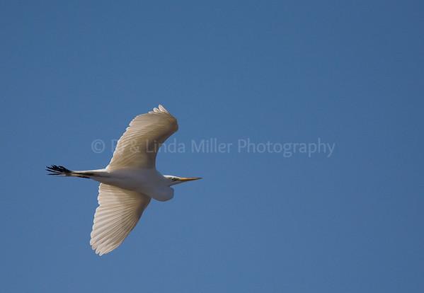 RJLM_WI  _83187  Great White Egret  2009-03