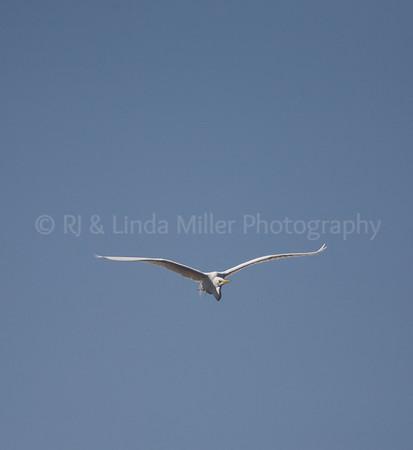 RJLM_WI  _83183  Great White Egret  2009-03