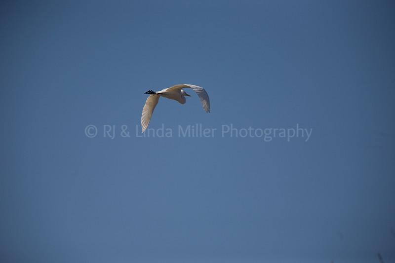 RJLM_WI  _83191  Great White Egret  2009-03