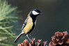 Great tit - Carbonero común