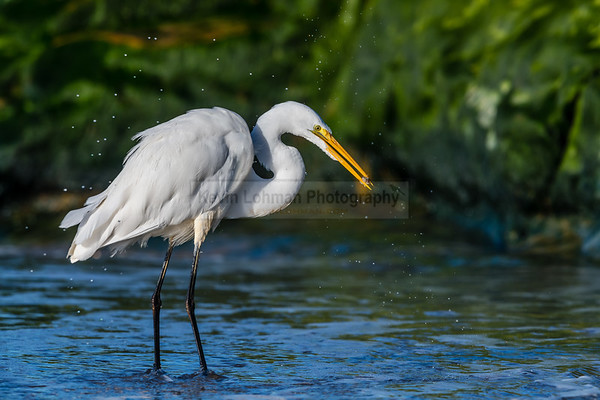 Great Egret In a Spray of Water after Catching a Sand Crab