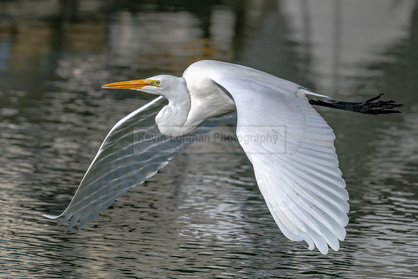 Water Reflections on Great Egret
