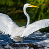Great Egret Spreads its Wings