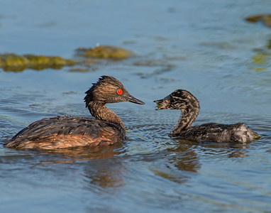 Eared Grebe, Hackberry Flats Wildlife Management Area, OK