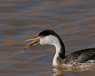 Western Grebe, Bosque Del Apache National Wildlife Refuge, NM