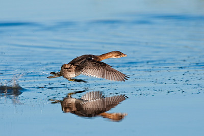 Pied Billed Grebe, Hackberry Flats Wildlife Management Area, Oklahoma