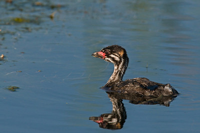 Pied Billed Grebe chick