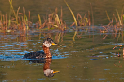 Red Necked Grebe, Potters Marsh, Alaska