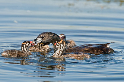 Pied Billed Grebe with chicks