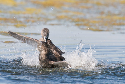 Pied Billed Grebes fighting over territory