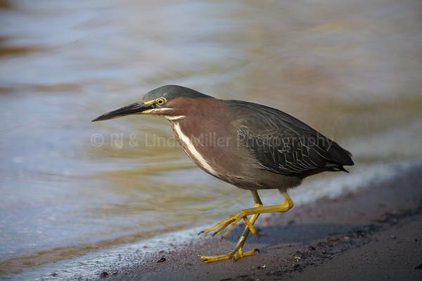 North America, Green Heron on Lake Shore