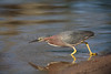 North America, Green Heron on Lake Shore