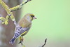 Greemfinch