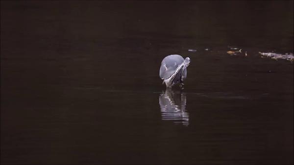Hunting Heron