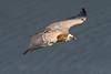 Buitre volando sobre el río Tajo