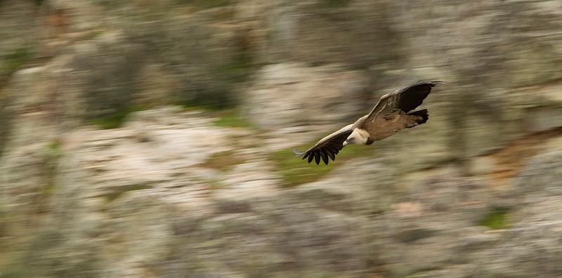 Griffon Vulture 1/80 sec