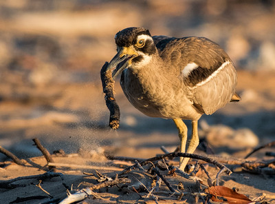 Beach Stone-Curlew at Lee Point