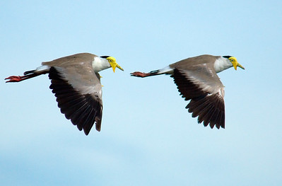 Plovers - synchronized flying