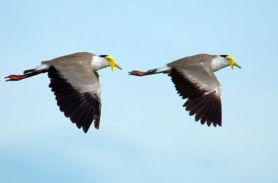 Plovers - synchronized flying
