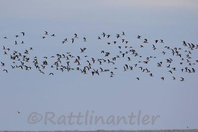 Black Skimmers