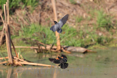Black Tern chased by a Red-Winged Blackbird