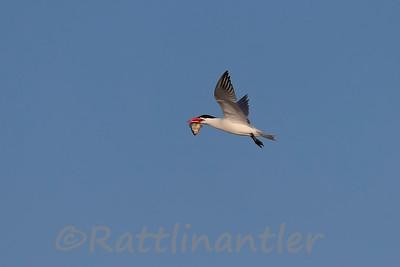 Caspian Tern with Bluegill