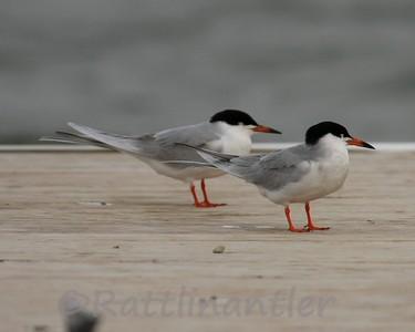 Forster's Terns