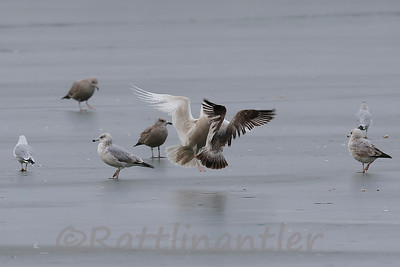 Glaucous Gull vs. Herring Gull