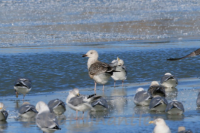 Great Black-Backed Gull - 1st Cycle