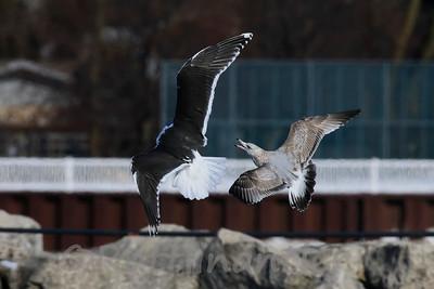 Great Black-Backed Gull vs. Herring Gull