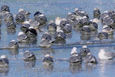 Great Black-Backed Gull, Herring Gulls, Kumlien's Iceland Gull