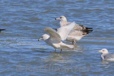 Kumlien's Iceland Gull
