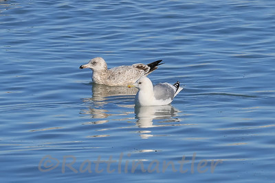 Kumlien's Iceland Gull with Herring Gull