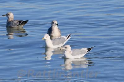 Kumlien's Iceland Gull (Mid)  & Herring Gulls