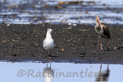 Laughing Gull with White Ibis