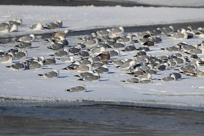 Various Gulls