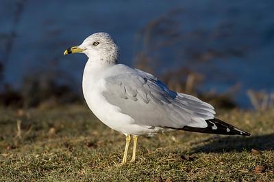Gulls, Terns, Guillemots, and Skimmers