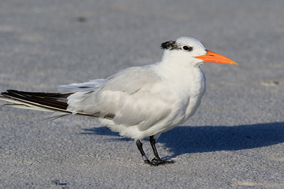 Royal Tern - Leg-Banded