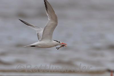 Royal Tern with Sand Shrimp