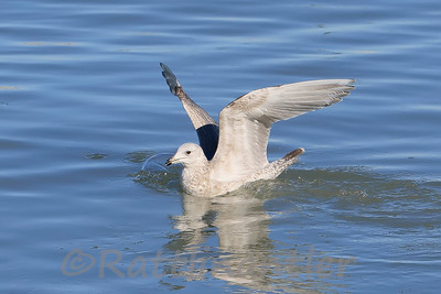 Thayer's Gull - 2nd Cycle
