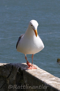 Western Gull with Leg Band