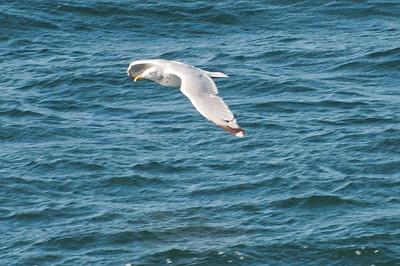 Unknown Gull