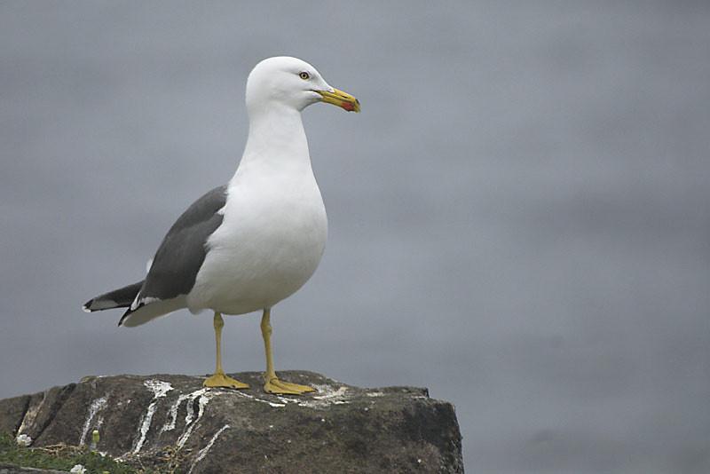 Lesser black-backed gull (Larus fuscus)