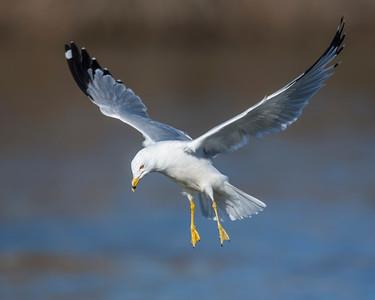 Ring-billed Gull, Grand Lake, OK