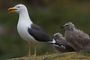 Lesser Black Backed Gull and chicks